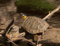 Wood Turtle Stock Photos