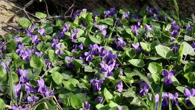 Wood violet stock footage
