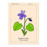 Wood violet Stock Image