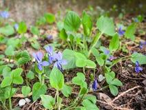 wood violets Arkivbilder