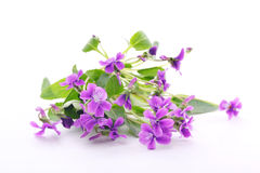 Wood violets flowers Royalty Free Stock Images