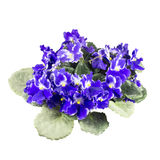 Wood violets flowers close up Royalty Free Stock Photo