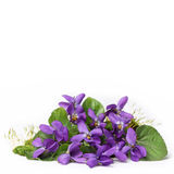 Wood violets flowers. Wood wiolets flowers close up with white background Royalty Free Stock Photo