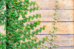 Wood wall covery by ivy plant Stock Photo