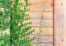 Wood wall covery by ivy plant Royalty Free Stock Photography