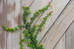 Wood wall green ivy plant. Royalty Free Stock Images