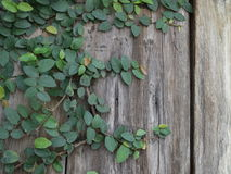 Wood wall with ivy Royalty Free Stock Images