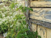Wood wall old house green herbs. Old house wood wall textured green herbs flowers leaves close-up garden village day nature outdoors Stock Photo