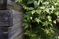 Wood wall old house green leaves sunlight. Wood wall old house green leaves close-up outdoors garden summer liana summer village Stock Images