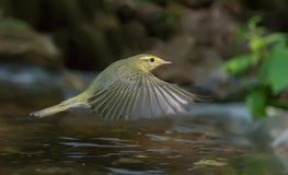 Wood Warbler beats wings in flight over a waterpond. Wood Warbler flying over a watering pond royalty free stock photo