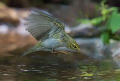 Wood Warbler in dive flight over a water surface royalty free stock photos