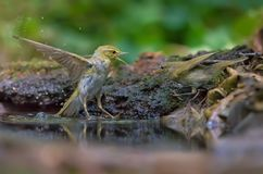 Wood Warbler in fight with Common Chiffchaff in waterpond stock photos