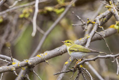 Wood Warbler on a Lichened Branch Stock Images