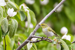 Wood Warbler Looking Left Royalty Free Stock Images