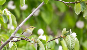 Wood Warbler Looking Right Stock Photography