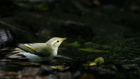 Wood Warbler near shadow forest stream Stock Photography