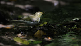 Wood Warbler near small stream in dark forest Royalty Free Stock Photography