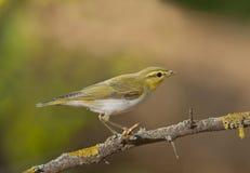 Wood warbler (Phylloscopus sibilatrix) Stock Image