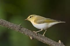 Wood warbler (Phylloscopus sibilatrix) Stock Photography
