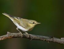 Wood warbler (Phylloscopus sibilatrix) Royalty Free Stock Image