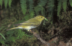 Wood warbler, Phylloscopus sibilatrix. Single bird on branch, Wales, UK Royalty Free Stock Photos