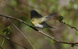 Wood warbler, Phylloscopus sibilatrix, Stock Photos