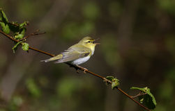 Wood warbler, Phylloscopus sibilatrix,. Single bird on branch, Warwickshire, May 2014 Stock Images
