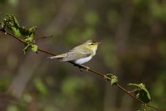 Wood warbler, Phylloscopus sibilatrix, Stock Photo