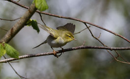 Wood warbler, Phylloscopus sibilatrix, Stock Photography