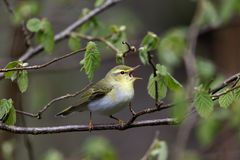 Wood warbler, Phylloscopus sibilatrix,. Single bird on branch, Warwickshire, May 2014 Stock Photos
