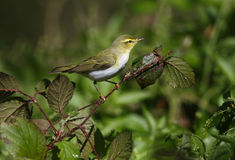 Wood warbler, Phylloscopus sibilatrix,. Single bird on branch, Warwickshire, May 2014 Royalty Free Stock Image