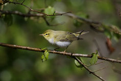 Wood warbler, Phylloscopus sibilatrix, Royalty Free Stock Photos