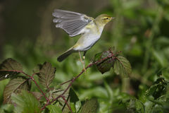 Wood warbler, Phylloscopus sibilatrix, Royalty Free Stock Images