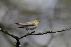 Wood warbler, Phylloscopus sibilatrix, Royalty Free Stock Photography