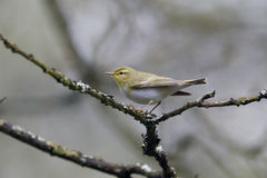 Wood warbler, Phylloscopus sibilatrix, Stock Image