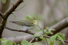 Wood warbler,  Phylloscopus sibilatrix Royalty Free Stock Image