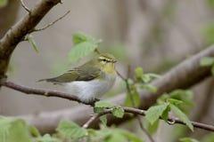 Wood warbler,  Phylloscopus sibilatrix Royalty Free Stock Photo