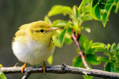 Wood warbler Phylloscopus sibilatrix sits on a beautiful branch.  Stock Images