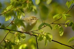 Wood Warbler - Phylloscopus sibilatrix. Is perching on the branch. Small forest bird sitting on the branch with green and blue background and with green leaves Royalty Free Stock Photos