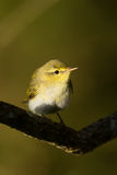 Wood Warbler Stock Images