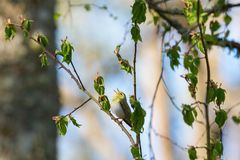 Wood Warbler sing Royalty Free Stock Images