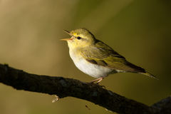 Wood Warbler Royalty Free Stock Photo