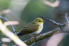 Wood Warbler in a tree Stock Image