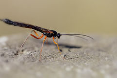 Wood wasp - Ephialtes manifestator Royalty Free Stock Images