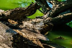 Wood weathered gnarled,tree dead. Tree Broken, dry, cracked, there is a rough surface on the water Stock Image