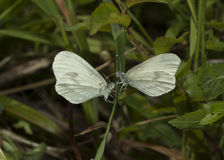 Wood White butterflies Royalty Free Stock Photography