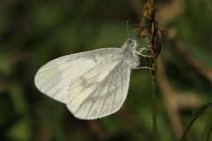 Wood White Leptidea sinapis our daintiest butterflies with one of the slowest and delicate flights of all the British species. Stock Photo