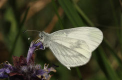 Wood White Leptidea sinapis our daintiest butterflies with one of the slowest and delicate flights of all the British species. Stock Image