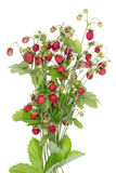 Wood wild real red berries bush royalty free stock image