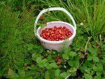 Wood wild strawberry. Stock Images